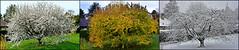 Printemps, automne, hiver (Diegojack) Tags: hiver automne printemps triptyque saisons montage cerisiers echandens