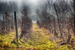 Tranquilli, ora siamo d'inverno!!! (Gianni Armano) Tags: inverno colli tortonesi cerreto grue alessandria piemonte italia vigneti nebbia 12 gennaio 2017 foto gianni armano photo flickr
