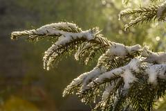 Backlight Magic (dietmar-schwanitz) Tags: winter schnee snow eis ice gegenlicht backlight grün green nikond750 nikonafsnikkor70200mmf40ged lightroom dietmarschwanitz