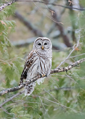 Chouette rayée Strix varia - Northern Barred Owl (Anthony Fontaine photographe animalier) Tags: wow