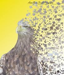 Eagle Photoshop. #photography #Photoshop #college #bright #eagle #birdofprey #colourful #motion #movement #fun #scatter (photoamfp) Tags: eagle photoshop photography college bright birdofprey colourful motion movement fun scatter