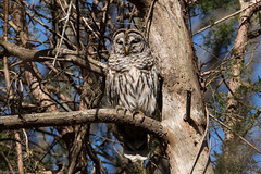 Barred Owl (grobinette) Tags: barredowl owl raptor huntleymeadowspark huntleymeadows explored