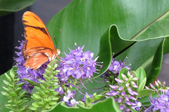 Julia butterflies Conservatory of Flowers Butterflies and Blooms Special Exhibit 161122-142907 (Wambeke & Wambeke Photography, Art, & Textiles) Tags: butterflies juliabutterfly cofspecialexhibit cof conservatoryofflowers victoriangreenhouse butterfliesandblooms20172018 butterfliesandbloomsspecialexhibit charliewambekephotography canonpowershotsx50photograph wambekewambekephotographyarttextiles wambekewambeke wambekeandwambekephotography orangebutterflywithblackstrips butterflyeyes