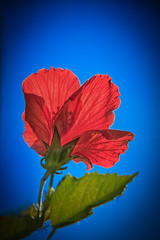 Back Lighting The Red Hibiscus (http://fineartamerica.com/profiles/robert-bales.ht) Tags: arizona foothills haybales hisbiscus people photo places plants states hibiscus flowers plant red hibiscusdisambiguation mallow warmtemperate subtropical sorrel flordejamaica rosemallow perennial herbaceous shrubs tree trumpetshaped white pink orange purple yellow beautiful sensational spectacular awesome magnificent robertbales magical colorful canonshooter wow stupendous tranquil petal nature flower bloom floral blossom iphone double blue backlighting vignette