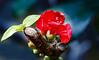 Chaenomeles japonica (Steve-h) Tags: nature natura pretty red blossom thorns green leaves buds wall winter january 2017 dublin ireland europe shrub bush climber steveh digital exposure ef eos canon camera lens