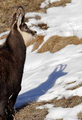 Camosci8 (Lunghefocali.snc) Tags: camoscio rupicaprarupicapra dolomiti valdifiemme trentino altamontagna biancoenero wildlife nature