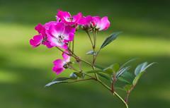 @Rosenhöhe Darmstadt (Benny aka WortLichtMaler) Tags: beauty beautiful flower nature nice green rose spring has come blühen schön blumen bloom
