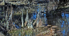 CYPRESS KNEES 1 (KayLov) Tags: nature environment ecology swamp phinizy augusta ga georgia creek water pond lake wildlife
