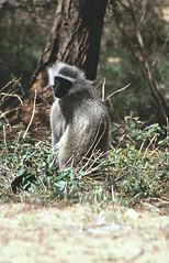 Meerkat (Rob van t Padje) Tags: flickr zoogdieren phalaborwa zuidafrika zaf