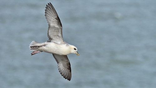 Fulmar off Seaford Head