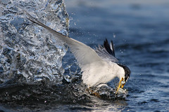 Double Catch (bmse) Tags: canon 7d2 400mm f56 l bmse salah baazizi wingsinmotion least tern fishing fish splash