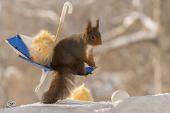 with chicks on swing (Geert Weggen) Tags: red nature animal squirrel rodent mammal cute look closeup stand funny bright sun backlight winter snow eyes hypnosis staring watching contact each up chair seat picnic food dinner breakfast meal dish plate easter holiday chick egg broken umbrella geert weggen bispgården ragunda sweden hardeko