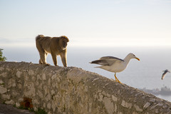 Ape v Gull (IanMackie) Tags: barbarymacaque ape seagull gibraltar wildlife