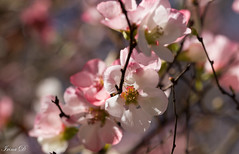 Ode to spring (Irina1010) Tags: flowers blooms pink white branch blossom floweringquince spring beautiful sunny nature canon march1st martisor macro bokeh ngc npc