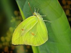 Anteos menippe (Rui Pará) Tags: anteosmenippe anteos menippe bug bugs inseto insect butterfly borboleta amazônia amazon belém pará brazil love amor flor flower beleza beaty