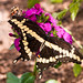 Tiger Swallowtail on a Flower