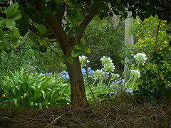 Untamed garden (fairyduff) Tags: lemon agapanthus garden