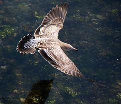 Ring-Billed Gull Eyeing Salmon Dinner (Gus Thompson) Tags: bird gull salmon soaring