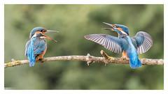 Jeune couple de Martin pêcheur (Alcedo atthis) Kingfisher 7D Mark II (Denis.R) Tags: france bird canon couple young kingfisher lorraine oiseau libre moselle sauvage jeune alcedoatthis martinpêcheur 70200f4is denisr 7dmarkii denisrebadj