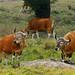 Banteng, Bos javanicus bulls at mineral deposit in Huai Kha Khaeng