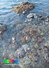 Various corals on Terumbu Bemban (wildsingapore) Tags: nature island marine singapore underwater wildlife shore intertidal seashore marinelife cnidaria wildsingapore scleractinia terumbubemban