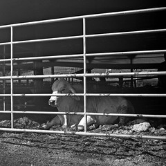 Petting Zoo, Hershbergers Farm and Bakery (dungan.robert) Tags: ohio blackandwhite bw white black 120 film beef amish barnyard yellowfilter yashicamat holmescounty asa200arista copyrightrobertedungan2015 r3monobath hershbergerfarmandbakery