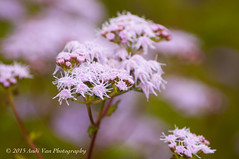 Pretty In Pink (AndiVanPhotog) Tags: pink flowers nature floral photography depthoffield