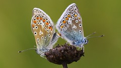 Common Blue - Polyommatus icarus (Mating) 170815 (1) (Richard Collier - Wildlife and Travel Photography) Tags: macro wildlife ngc butterflies insects naturalhistory npc british commonblue fantasticnature