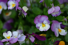 2015 04 25_d7100_0059 (swedgatch (Praying for Dad)) Tags: life flowers light flower color macro art love nature colors beautiful beauty by naked lens photography prime photo spring nikon soft photographer angle artistic little photos sweden stockholm live perspective things photographs photograph tiny take growing capture tamron 90mm d7100 swedgatch