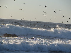 Birds over the Surf (Paul 49 55) Tags: ocean california bird coast monterey surf pacific tide shoreline wave pelican shore montereycounty pacificgrove asilomar tidal asilomarstatebeach