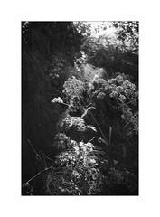 b20151005-1-4 (_loupe) Tags: light shadow film 35mm scan xa olympusxa horsetail verge scannednegative ilforddelta100 umbelliferae 3528 fzuiko frenchmilllane ei125 1276709 septemberoctober2015 d23111030m20c