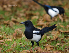Pair of Magpies (JBOT | Adaptive Disability Lifestyle) Tags: park wood blue trees christchurch green nature birds photography duck suffolk pond tit wildlife birding dunnock cormorant magpie terapin ipswich pecker parkland