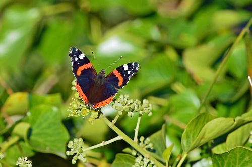 Blue-veined Red Admiral