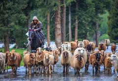 Kazakh Shepherd @ Duku Highway, Xinjiang China (Feng Wei Photography) Tags: china travel color beautiful horizontal cn asia sheep outdoor shepherd traditional tian scenic xinjiang remote hunter shan tradition migration legacy kazakh yili tianshan horizontalhorizontal nileke