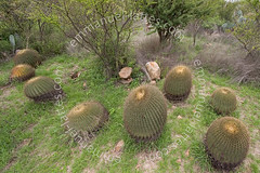 Ferocactus histrix (San Miguel de Allende, Guanajuato, Mexique). (Emmanuel LATTES) Tags: wild cactus plant grass miguel del cacti plante de mexico botanical succulent bush san natural jardin el botanico mexique environment guanajuato spine shrub cactaceae botany spherical herbe jardn remarkable allende botnico charco ferocactus pine naturel ingenio milieu buisson globular succulente cacte piquant arbuste pricking remarquable globulaire histrix sphrique cactaces acitrn