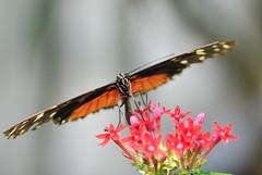 Heliconius sp JVA_0092 (mrjean.eu) Tags: sara sp atlas demi insectes attacus papillons heliconiinae deuil heliconius phaetusa dryatula