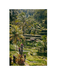 Tegalalang Rice Terrace (Katja Pavlovic) Tags: travel bali colors beautiful nikon rice terrace natuer