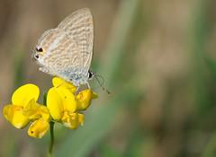 L'Azur porte-queue - Lampides boeticus -  (michel lherm) Tags: papillons lampidesboeticus lpidoptres rhopalocres lazurportequeue