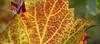 autumn leaf (Axxolotl) Tags: autumn autumnfoliage fall texture nature germany leaf colorful colours herbst natur autumnleaves autumncolours fallfoliage vineyards colourful bunt viticulture herbstlaub badenwürttemberg weinblatt weinberge vineleaf weinbau herbstfarben viniculture remstal weinstadt