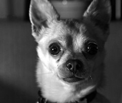 Ready for My Close Up (Cindy's Here) Tags: portrait explore jynx ansh dogchihuahua scavenger19 somethingmexican