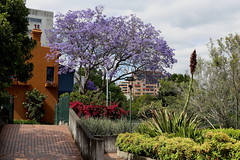 Jacaranda tree in Embarkation Park - Potts Point, Sydney (Carneddau) Tags: sydney pottspoint jacarandatree