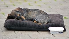 (Kenneth Gerlach) Tags: chili danmark gravhund ruhret miniaturegravhund
