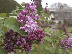 Lilas (Moraiya) Tags: plantas lilas morada arbusto