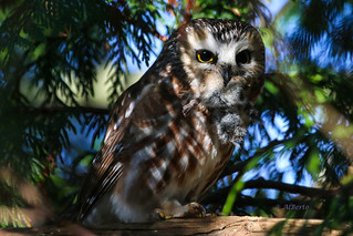 Northern Saw-whet Owl with Vole