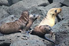 Galapagos Sea Lion (nadjamh) Tags: santafe galapagos sealion