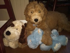 cormack-with-his-furry-friends--mack-is-one-of-cece-and-tobys-boys-_4972943808_o