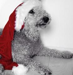 Photo of Bedlington at Christmas.