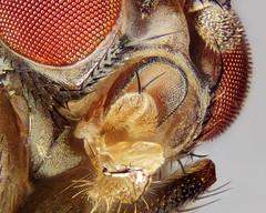 Drosophila subobscura: palps (Martin Cooper Ipswich) Tags: macro garden fly suffolk squash seta ipswich fruitfly diptera drosophila setae cucurbita vinegarfly drosophilidae palp subgenus macromondays palpus sophophora sidewaysupsidedownorbackwards drosophilasubobscura taxonomy:binomial=drosophilasubobscura