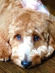 shastas-emma-has-the-sweetest-eyes_20481565889_o