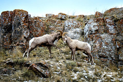 THE S OUND OF THUNDER (Aspenbreeze) Tags: nature animals rural outdoors wildlife wildanimal ram bighornsheep bighornram bighornsheepram wyomingwildlife coloradowildlife ramsfighting aspenbreeze moonandbackphotography bevzuerlein duelingrams